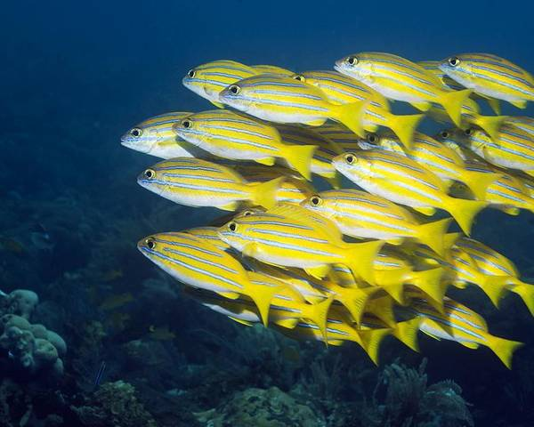 Blueline Snapper Poster featuring the photograph Blueline Snappers by Georgette Douwma