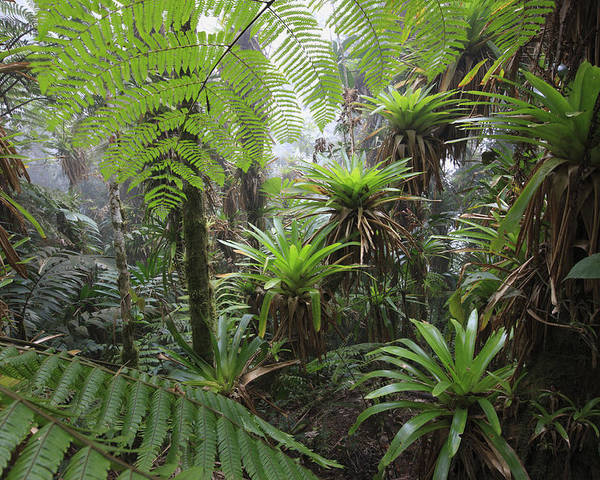 Mp Poster featuring the photograph Bromeliad Bromeliaceae And Tree Fern by Cyril Ruoso