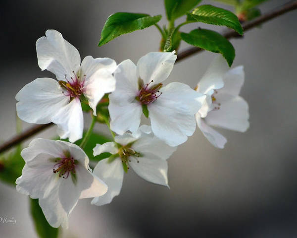 Cherry Blossoms Poster featuring the photograph Cherry Blossoms by Sandi OReilly