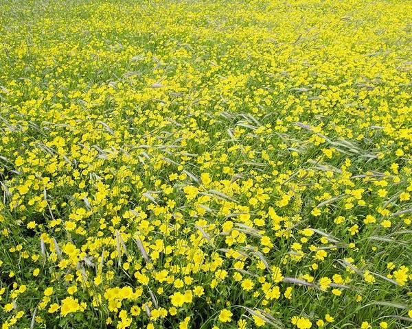 Flower Poster featuring the photograph Corn Marigolds (chrysanthemum Segetum) by Adrian Bicker