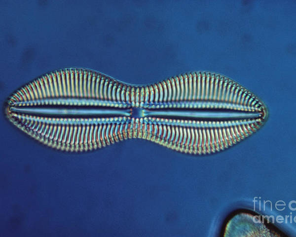 Diatom Poster featuring the photograph Diatom - Diploneis Crabro by Eric V. Grave