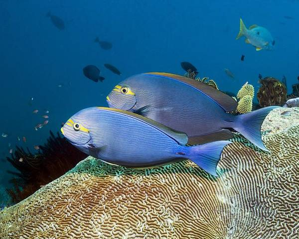 Elongate Surgeonfish Poster featuring the photograph Elongate Surgeonfish by Georgette Douwma