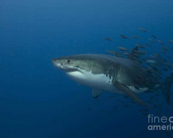 Carcharodon Carcharias Poster featuring the photograph Female Great White Shark With A School by Todd Winner