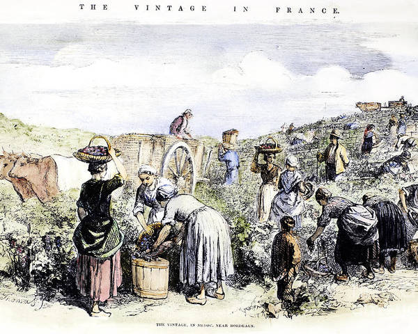 1854 Poster featuring the photograph France: Grape Harvest, 1854 by Granger