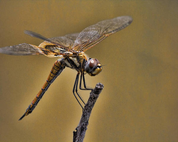 Dragonfly Poster featuring the photograph Golden Brown by Douglas Barnard