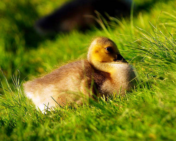 Animal Avian Baby Bird Birds Canada Children Geese Goose Gosling Little Migrate Migratory Nature New Pond Spring Water Wild Wildlife Wildness Young Small Little Art Close Close-up Macro Lovely Art Action Freeze Capture Food Looking Look Search Poster featuring the photograph Gosling In Spring by Paul Ge