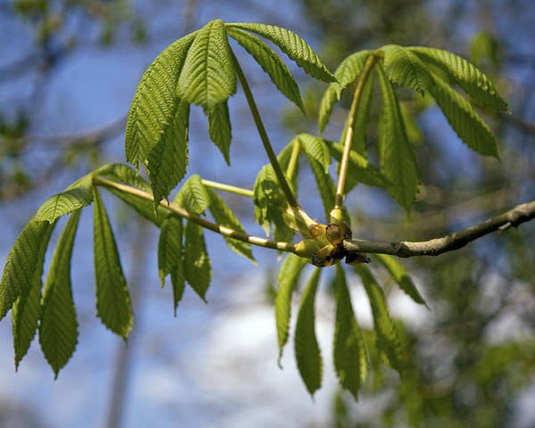 Horse Chestnut Poster featuring the photograph Horse Chestnut (aesculus Hippocastanum) by Dr Keith Wheeler