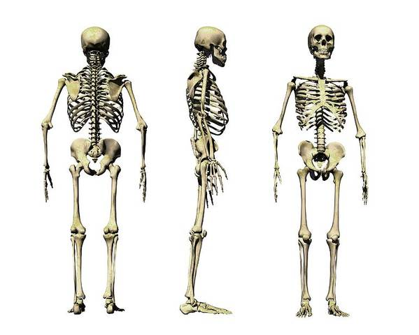 Skeleton Poster featuring the photograph Human Skeleton Anatomy, Artwork by Victor Habbick Visions
