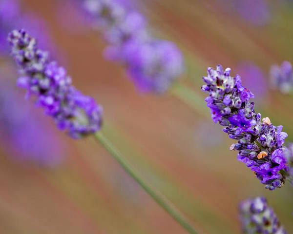Reflections Poster featuring the photograph Lavender Portrait by Manju Shekhar