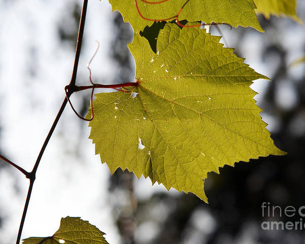 Detail Poster featuring the photograph Leaves Of Wine Grape by Michal Boubin