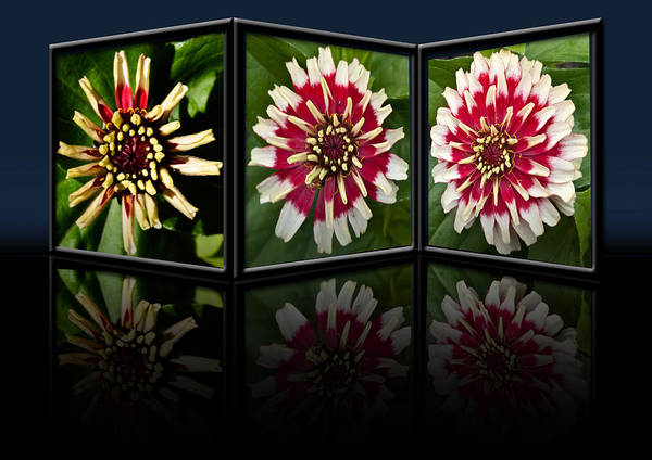 Zinnia Poster featuring the photograph Life Of A Zinnia by Steve Purnell
