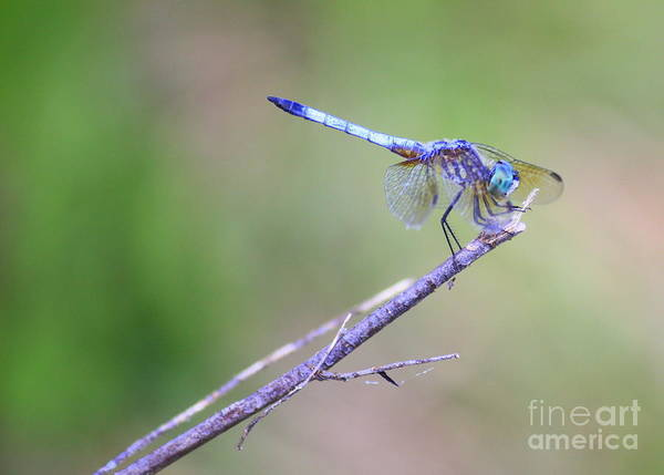 Dragonfly Poster featuring the photograph Living On The Edge by Carol Groenen