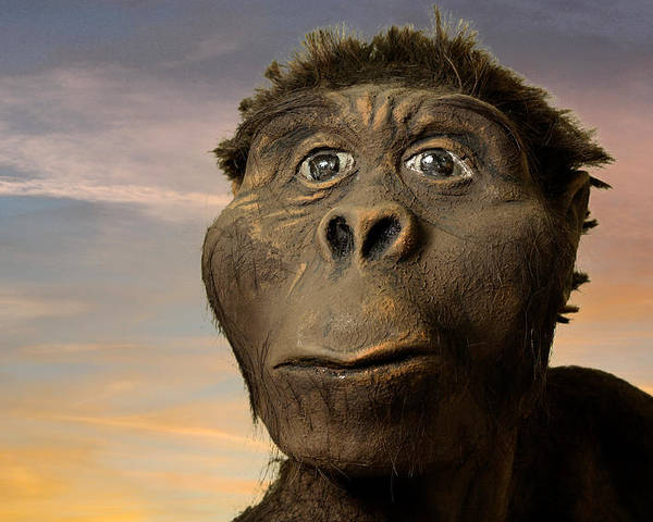 Australopithecus Afarensis Poster featuring the photograph Model Of 'lucy' by Volker Steger