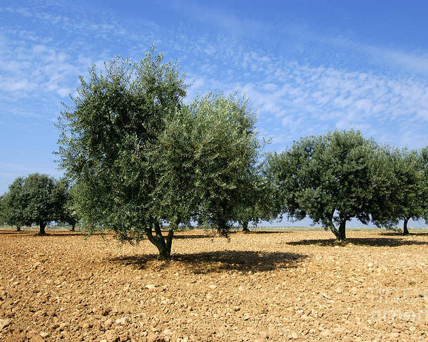 Agrarian Poster featuring the photograph Olives Tree In Provence by Bernard Jaubert