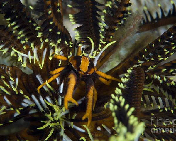 Allogalathea Elegans Poster featuring the photograph Orange And Brown Elegant Squat Lobster by Steve Jones