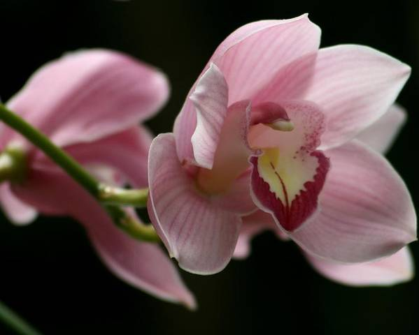 Nature Poster featuring the photograph Orchid's Mystery by Valia Bradshaw