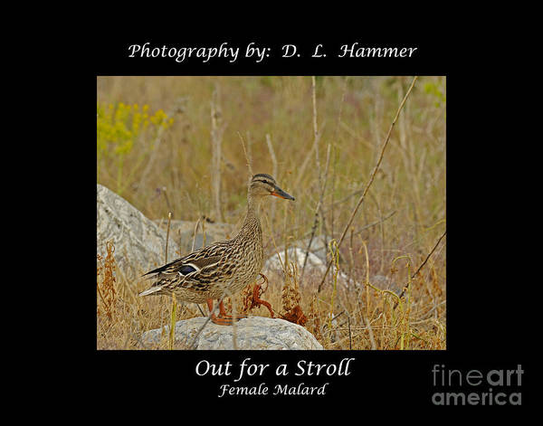 Wildlife Poster featuring the photograph Out For A Stroll by Dennis Hammer