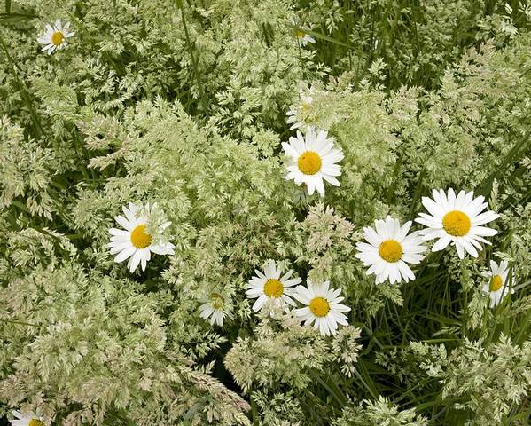 Ox-eye Daisy Poster featuring the photograph Ox-eye Daisies (leucanthemum Vulgare) by Bob Gibbons