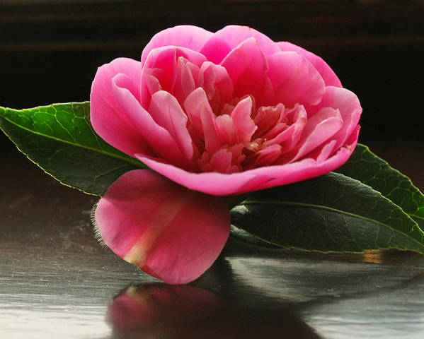 Camellia Poster featuring the photograph Pink Camellia by Terence Davis