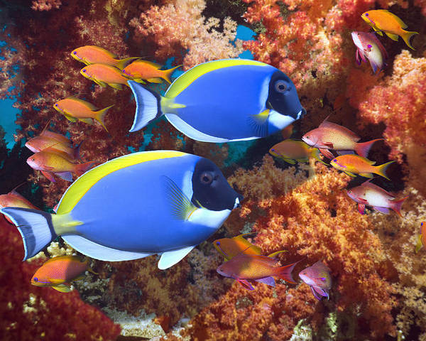 Horizontal Poster featuring the photograph Powder-blue Surgeonfish by Georgette Douwma