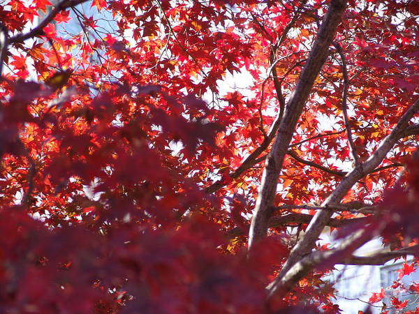 Poster featuring the photograph Red Leaves 2 by Rod Ismay
