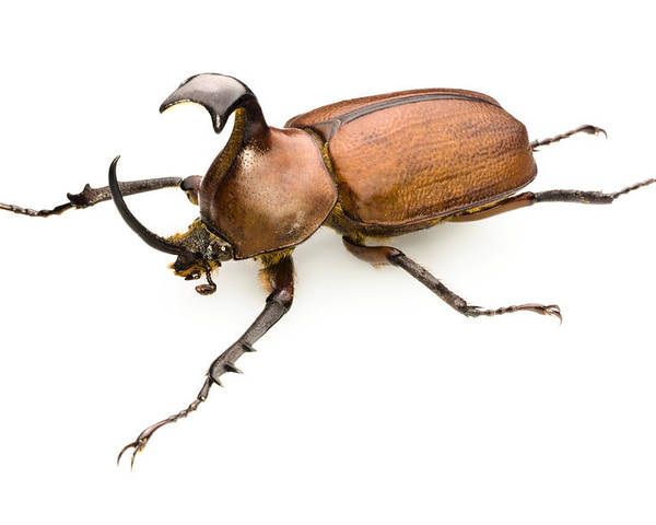 Golofa Pizarro Poster featuring the photograph Rhinoceros Beetle by Lawrence Lawry