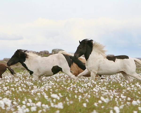 Horizontal Poster featuring the photograph Running Horses by Gigja Einarsdottir