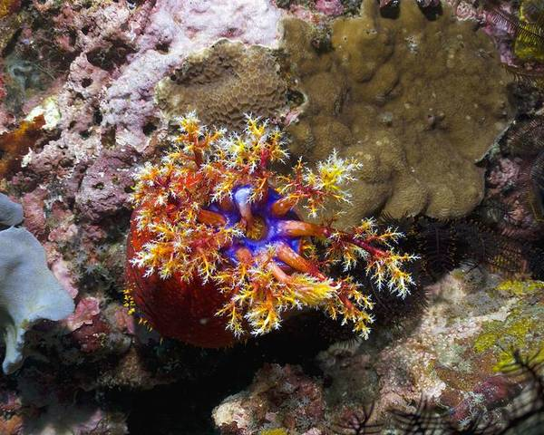 Sea Apple Poster featuring the photograph Sea Apple by Georgette Douwma