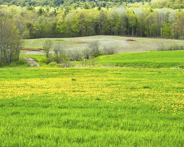 Maine Farmland Poster featuring the photograph Spring Farm Landscape With Dandelion Bloom In Maine by Keith Webber Jr