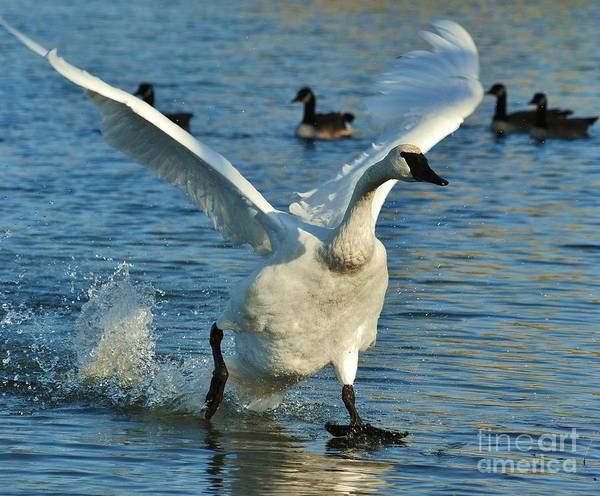 Swan Poster featuring the photograph Swan Lake by Joy Bradley