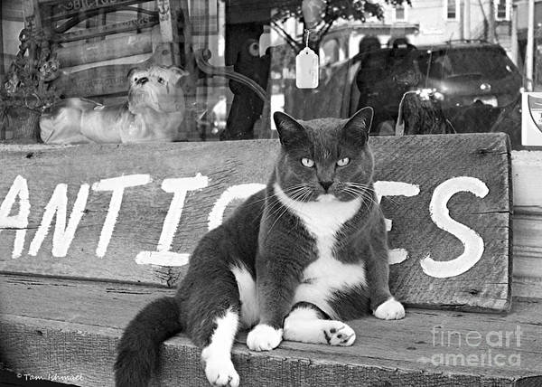 Cat Poster featuring the photograph The Shop Cat by Tammy Ishmael - Eizman