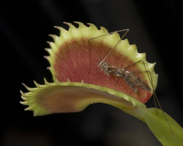 Atlanta Poster featuring the photograph Venus Flytraps As They Consume Insects by Joel Sartore