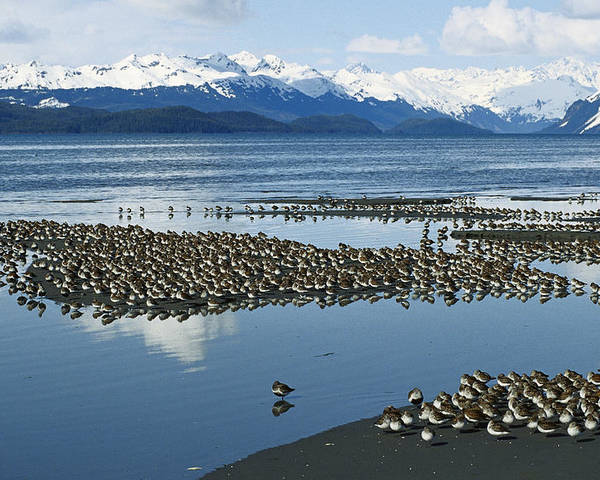 Mp Poster featuring the photograph Western Sandpiper Calidris Mauri Flock by Michael Quinton