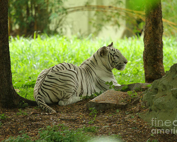 White Tiger Poster featuring the photograph White Tiger by Mohan Das