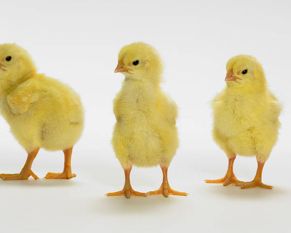 Light Poster featuring the photograph Yellow Chicks. Baby Chickens by Thomas Kitchin & Victoria Hurst