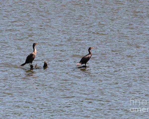 Nature Poster featuring the photograph Double-crested Cormorant by Jack R Brock