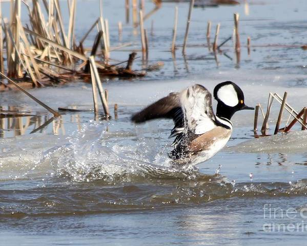 Hodded Poster featuring the photograph Hooded Merganser by Lori Tordsen