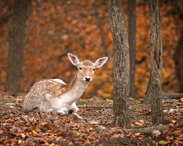 Arkansas Poster featuring the photograph 1111-7638 Fawn In Fall by Randy Forrester