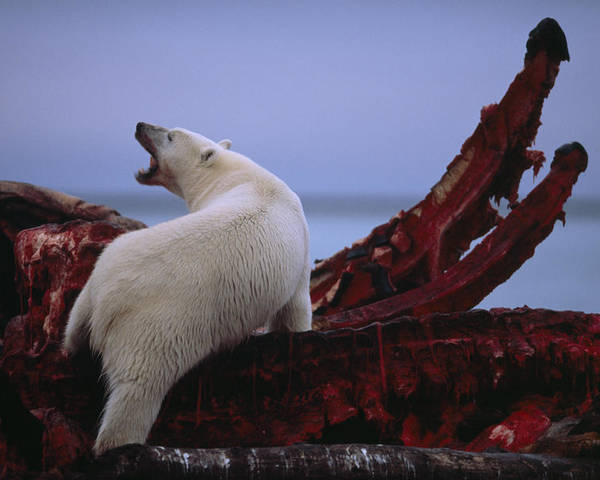 Arctic Ocean Poster featuring the photograph Untitled by National Geographic