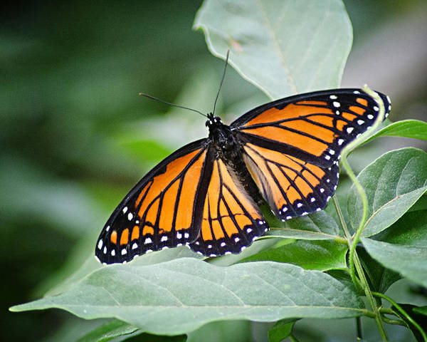 Monarch Butterfly Poster featuring the photograph 1205-8934 Monarch In Spring by Randy Forrester