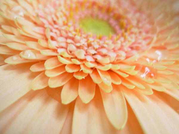 Gerbera Photographs Poster featuring the photograph 1520 by Kimberlie Gerner
