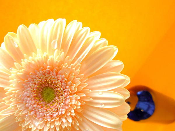 Gerbera Photographs Poster featuring the photograph 1535-001 by Kimberlie Gerner