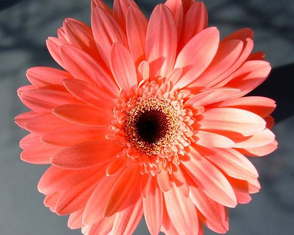 Gerbera Photographs Poster featuring the photograph 1577-002 by Kimberlie Gerner