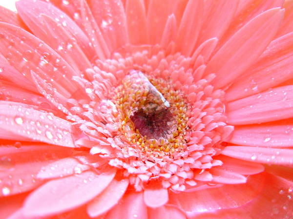 Gerbera Photographs Poster featuring the photograph 1733-001 by Kimberlie Gerner