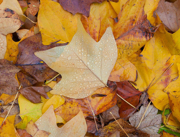 Leave Poster featuring the photograph Autumn Leaves by Hans Engbers