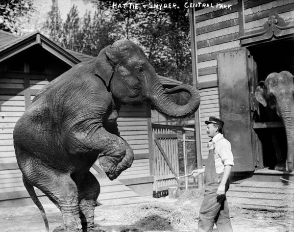 1900s Poster featuring the photograph Bill Snyder, Elephant Trainer by Everett