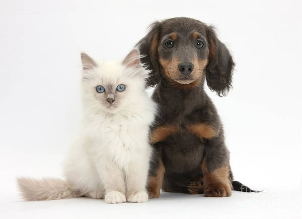 Dog Poster featuring the photograph Blue-point Kitten & Dachshund by Mark Taylor
