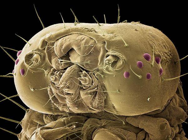 Animal Poster featuring the photograph Caterpillar Head, Sem by Steve Gschmeissner
