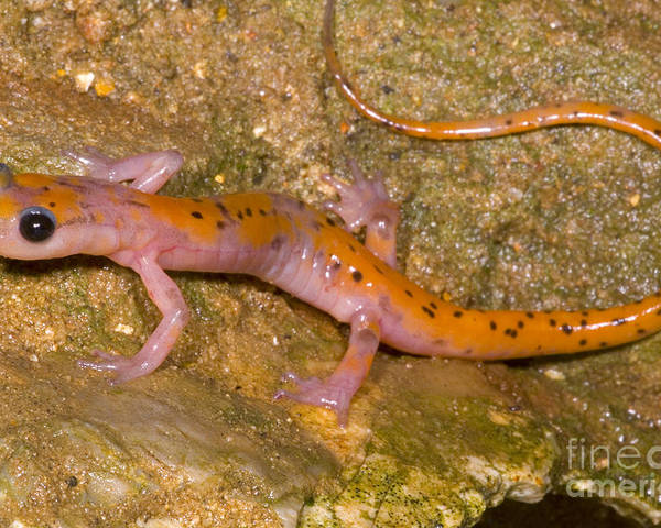 Eurycea Lucifuga Poster featuring the photograph Cave Salamander by Dante Fenolio