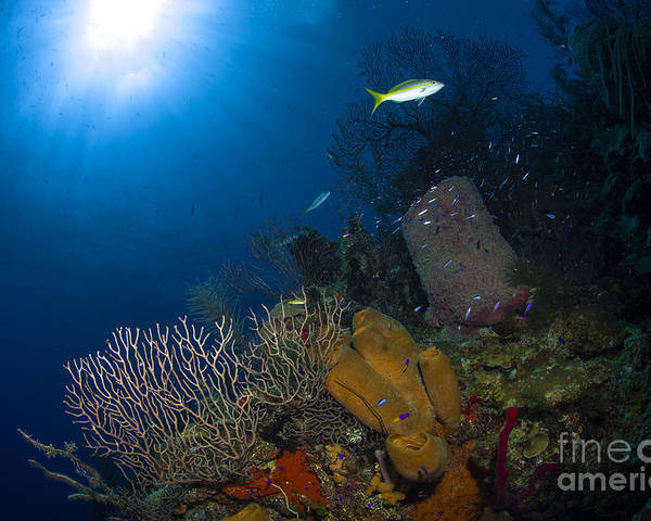 Sea Life Poster featuring the photograph Coral And Sponge Reef, Belize by Todd Winner